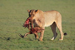 Lwica z zdobyczem Fotografia Stock