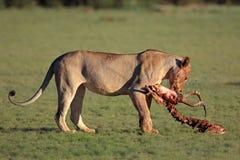 Lwica z zdobyczem Obraz Stock