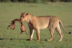 Lwica z zdobyczem Zdjęcie Stock