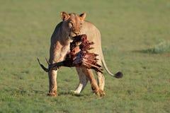 Lwica z zdobyczem Zdjęcia Royalty Free