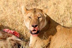 Lwica z zwłoka Obrazy Stock