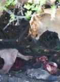 Lwicy łasowanie w sawannie obrazy stock