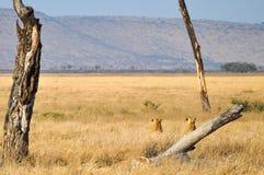 lwicy Zdjęcia Stock