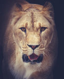 lwicy Obrazy Stock