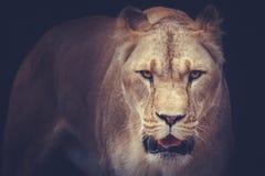 lwicy Zdjęcie Stock