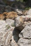 Lwicy dosypianie Fotografia Stock