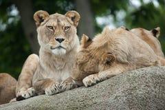 Lwicy i nieletni męski lew & x28; Panthera leo& x29; Zdjęcia Royalty Free