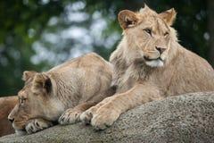 Lwicy i nieletni męski lew & x28; Panthera leo& x29; Zdjęcie Royalty Free