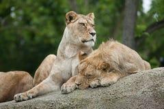 Lwicy i nieletni męski lew & x28; Panthera leo& x29; Zdjęcia Stock