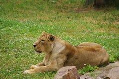 Lwicy kłaść obraz royalty free