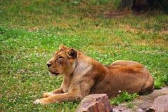 Lwicy kłaść fotografia royalty free