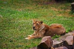 Lwicy kłaść obrazy stock