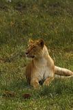 Lwicy Leniwić się Obrazy Royalty Free