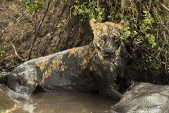 Lwicy lying on the beach obok swój zdobycza w błotnistej rzece, Serengeti Zdjęcia Royalty Free