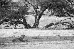 Lwicy obserwować Zdjęcia Stock