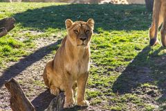 Lwicy obsiadanie na trawie i patrzeć prosto naprzód zdjęcie stock