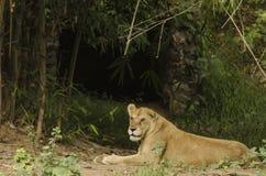 Lwicy odpoczynkowy outside jej jama zdjęcia royalty free