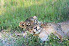 Lwicy odpoczywać Obraz Stock