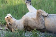 Lwicy odpoczywać Zdjęcie Stock