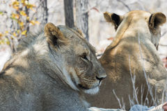 Lwicy odpoczywa w cieniu Obraz Royalty Free