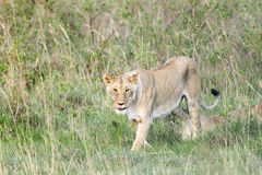 Lwicy odprowadzenie Obrazy Stock