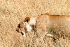 Lwicy odprowadzenie w dzikim Zdjęcie Stock