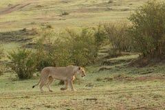 Lwicy odprowadzenie w obszarach trawiastych Obrazy Royalty Free