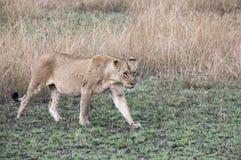 Lwicy odprowadzenie w trawach w królowej Elizabeth parku narodowym, Uga Fotografia Royalty Free