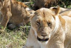 Lwicy protrait Zdjęcia Stock