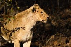 Lwicy spojrzenie Obraz Royalty Free