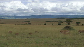 Lwicy z lisiątkami chodzi w równinach zdjęcie wideo
