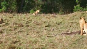 Lwicy z lisiątkiem bawić się w sawannie przy Africa zdjęcie wideo