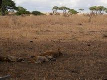 Lwicy zakończenie, lwica z lwami Ngorongoro safari - Tarangiri w Afryka Fotografia Royalty Free