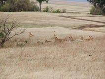 Lwicy zakończenie, lwica z lwami Ngorongoro safari - Tarangiri w Afryka Zdjęcia Royalty Free