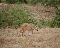 Lwicy zakończenie, lwica z lwami Ngorongoro safari - Tarangiri w Afryka Zdjęcie Stock