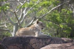 Löwin, die auf die Felsen unten übersehen legt Stockfotografie