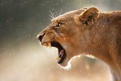 Löwin, die gefährliche Zähne anzeigt Stockfotografie