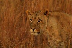 Löwin, die im langen Gras sich anpirscht Stockfotografie