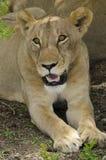 Löwin, die im Schatten stillsteht Lizenzfreies Stockbild