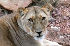 Löwin, die in Kamera anstarrt Stockfotografie