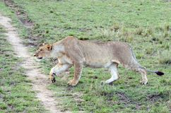 Löwin, die Kenia Tom Wurl anpirscht Stockbild