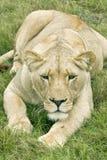 Löwin, die voran liegt und anstarrt Stockfotografie