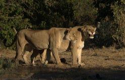 Löwin, die Zähne zeigt Lizenzfreies Stockfoto