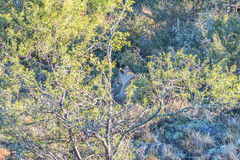 Löwin, die zwischen Bäumen sich versteckt Lizenzfreies Stockbild