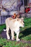 Löwin, freundliche Tiere am Prag-Zoo Lizenzfreies Stockfoto