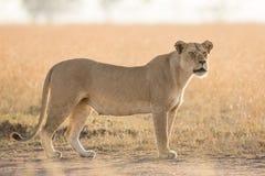 Löwin am frühen Morgen im Serengeti, Tansania Lizenzfreies Stockfoto