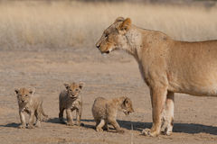 Löwin mit drei Jungen Stockfotografie