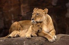Löwin und Cub Stockfoto