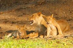 Löwin und CUB Stockfotos