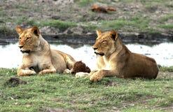 Löwin zwei Lizenzfreie Stockfotografie